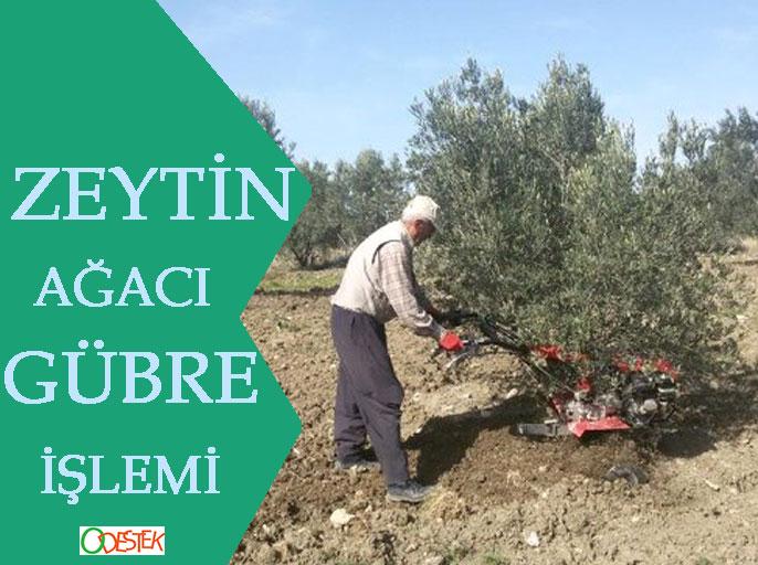 zeytin ağacı gübreleme nasıl yapılır